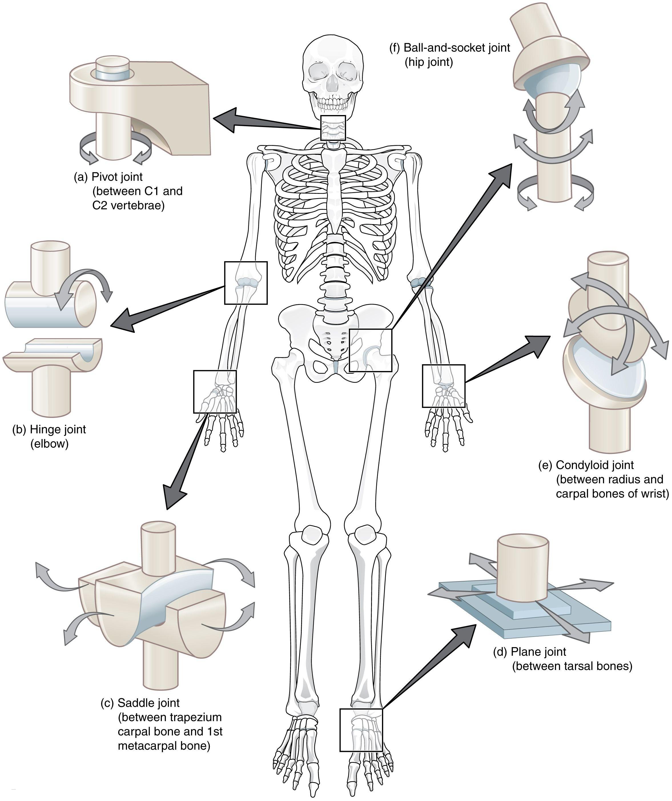 Car Free Body Diagram 32 Human Joints Diagram Free Diagram Template Of Car Free Body Diagram