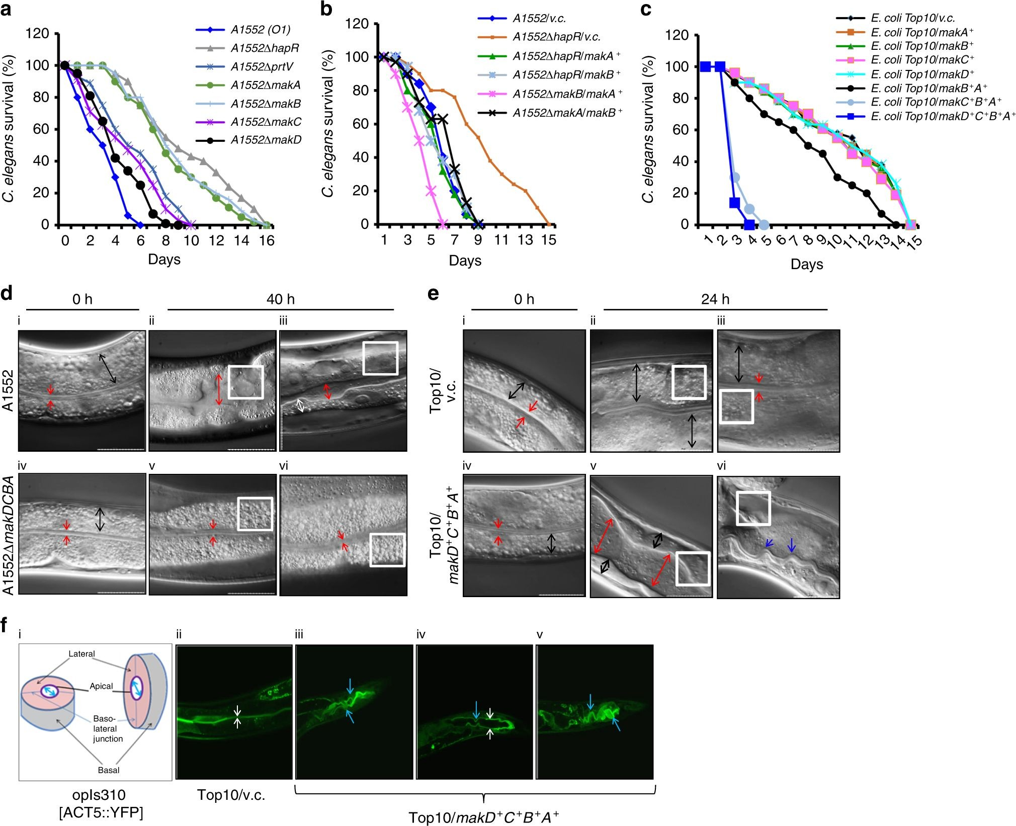 Indicator Diagram Of 2 Stroke Engine Flagella Mediated Secretion Of A Novel Vibrio Cholerae Cytotoxin Of Indicator Diagram Of 2 Stroke Engine