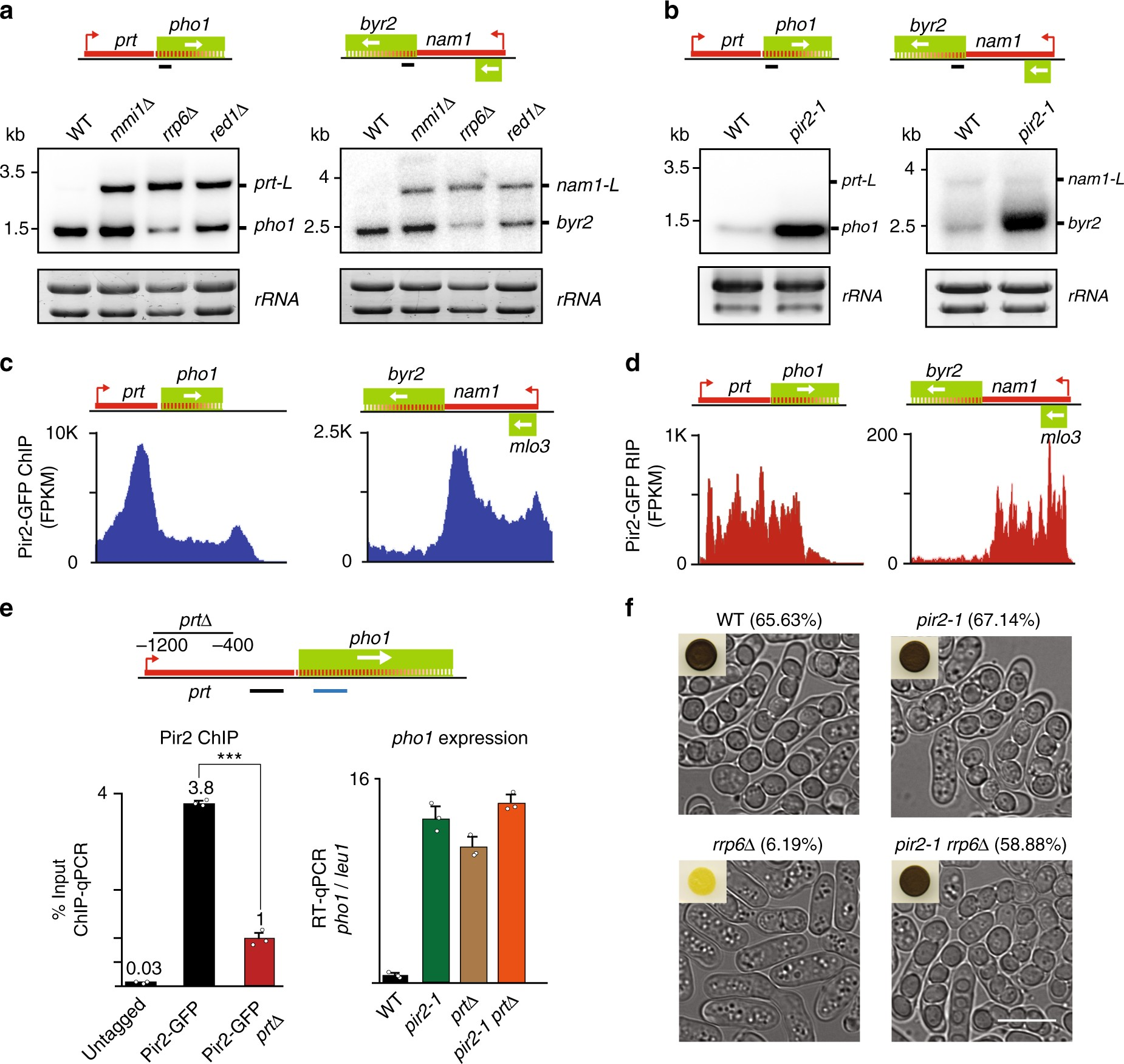 Wireing Diagram for Gbu130 Pellet Conserved Protein Pir2 Ars2 Mediates Gene Repression Through Of Wireing Diagram for Gbu130 Pellet